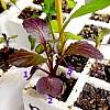 purple-tres-baby