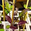 purple-tres-budding